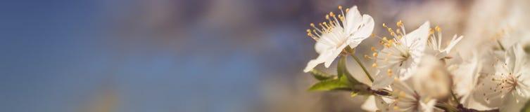 Знамя цветения весны стоковые изображения rf