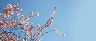 Знамя цветения весны Стоковые Фотографии RF