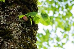 Значок 062 дерева липы Стоковые Изображения RF