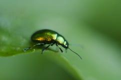 Золотая блестящая черепашка Макрос снял показывать гениального жука на зеленых лист Прикарпатская флора и фауна Стоковые Фото