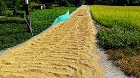 Золотая дорога падиа в рисе жать день стоковая фотография rf