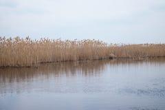 Золотая камышовая трава весной в солнце около воды стоковая фотография