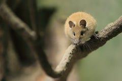 Золотая колючая мышь стоковое фото rf