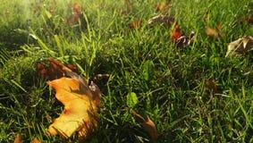 Золотая листва лежит на зеленой траве в солнце Стоковое Изображение RF