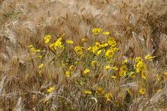 Золотая маргаритка в поле стоковое изображение