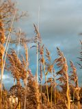 Золотая середина тростников осени цветет листва земли травы Стоковая Фотография