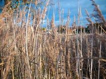 Золотая середина тростников осени цветет листва земли травы Стоковые Изображения RF