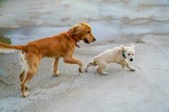 Золотая собака и ход и играть щенка стоковое изображение