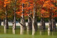 Золотая стойка distichum Taxodium величественно в шикарном озере против фона гор Кавказа осенью Осень стоковое изображение rf
