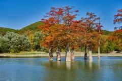 Золотая стойка distichum Taxodium величественно в шикарном озере против фона гор Кавказа осенью Осень стоковые фото