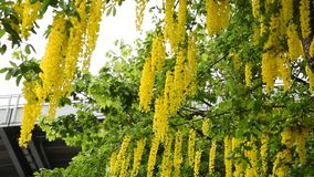Золотая цепь   Vulgare Laburnum сток-видео