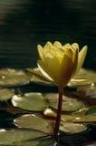 золотистая вода лилии Стоковое Изображение