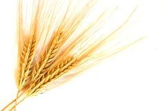 золотистая изолированная пшеница Стоковая Фотография RF