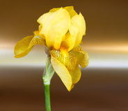 золотистая лилия стоковые фото