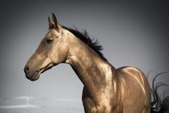 Золотистая лошадь Туркменистан стоковое фото rf