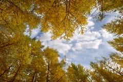 Золотистая осень березовых древесин Стоковая Фотография RF