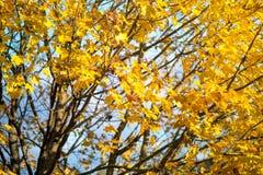 Золотистая осень Дерево клена вполне ярко желтых листьев осени, в середине падения Стоковое Изображение RF