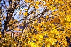 Золотистая осень Дерево клена вполне ярко желтых листьев осени, в середине падения Стоковое Изображение