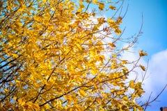 Золотистая осень Дерево клена вполне ярко желтых листьев осени, в середине падения Стоковая Фотография