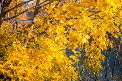 Золотистая осень Дерево клена вполне ярко желтых листьев осени, в середине падения Стоковые Изображения