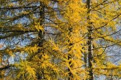 Золотистая предпосылка лиственницы времени осени Стоковые Фотографии RF