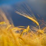 Золотистая предпосылка поля пшеницы Стоковая Фотография RF