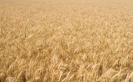 золотистая пшеница широко Стоковые Фотографии RF