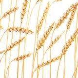 золотистая пшеница Стоковые Изображения
