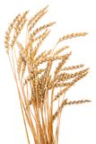 золотистая пшеница Стоковое фото RF