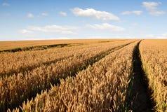 золотистая пшеница Стоковая Фотография RF
