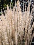золотистая пшеница стоковая фотография