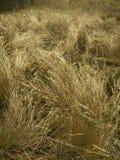 Золотистая трава стоковое фото