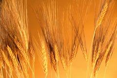 золотистое зерно Стоковая Фотография RF