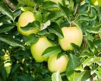 Золотисто - очень вкусный яблоки в дереве стоковая фотография