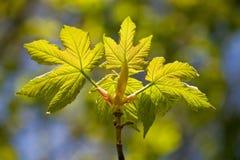 золотистые листья Стоковое Изображение RF