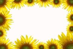 золотистые солнцецветы плана Стоковые Изображения RF
