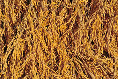 Золотистые спайки риса стоковая фотография rf