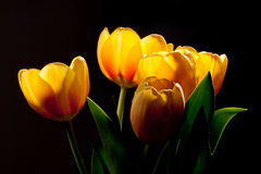 золотистые тюльпаны Стоковые Изображения