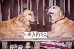 золотистые retrievers 2 Рождество Стоковое Фото
