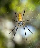 Золотистые silk шар-ткачи (genus Nephila) Стоковая Фотография
