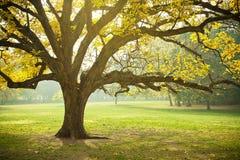 Золотистый вал клена желтого цвета осени листва падения Стоковое Изображение