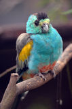 золотистый взваленный попыгай Стоковая Фотография RF