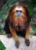 золотистый возглавленный tamarin льва Стоковое фото RF