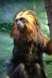 золотистый возглавленный tamarin льва Стоковые Фотографии RF