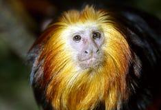 золотистый возглавленный tamarin льва Стоковые Изображения RF
