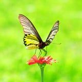 Золотистый всасывать насекомого бабочки Birdwing цветастый Стоковое Изображение