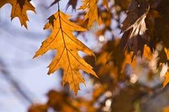золотистый заход солнца дуба листьев Стоковое фото RF