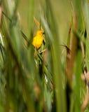 золотистый зеленый ткач holub s стоковые изображения