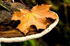 Золотистый кленовый лист Стоковые Изображения