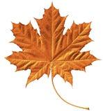 золотистый клен листьев Стоковые Изображения RF